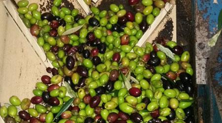 Pesée des olives